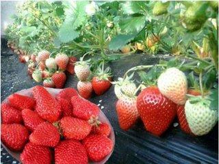"""长安草莓申报""""十佳市场口碑地标品牌"""""""