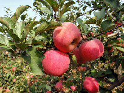 舌尖上的洛川苹果,诗画中的生态果园