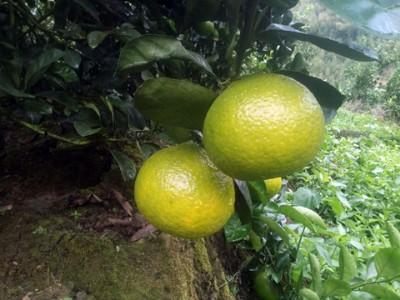 南平十大特产之一:建阳桔柚