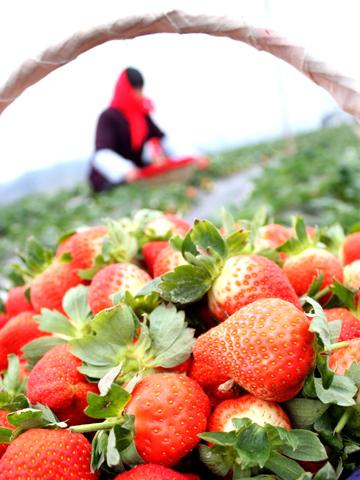 中国驰名商标:黄川草莓