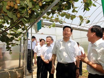 中国猕猴桃之乡:陕西省周至县