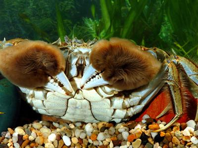 匡实黄金重,螯肥白玉香——洪泽湖大闸蟹