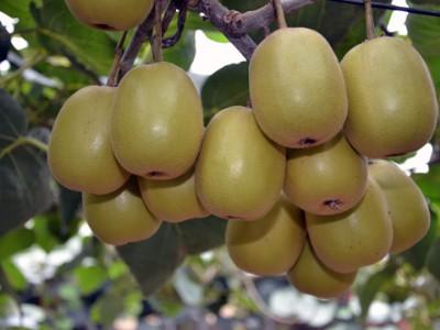 苍溪红心猕猴桃,助推产业快速发展
