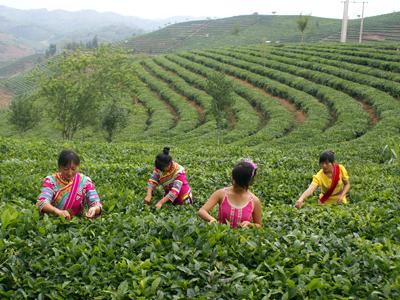 """云南省:发挥生态自然优势,打好""""绿色食品""""牌"""