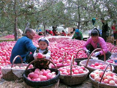 甘肃省静宁县:绿色品牌成就脱贫主导产业