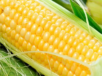 肇州糯玉米
